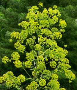 asafoetida plant